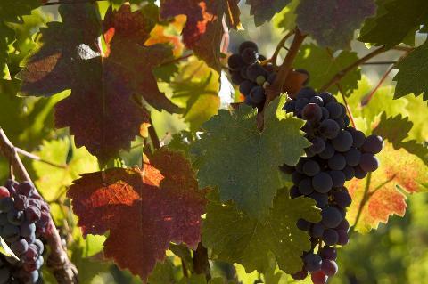 02864-grapes-975941_960_720.jpg